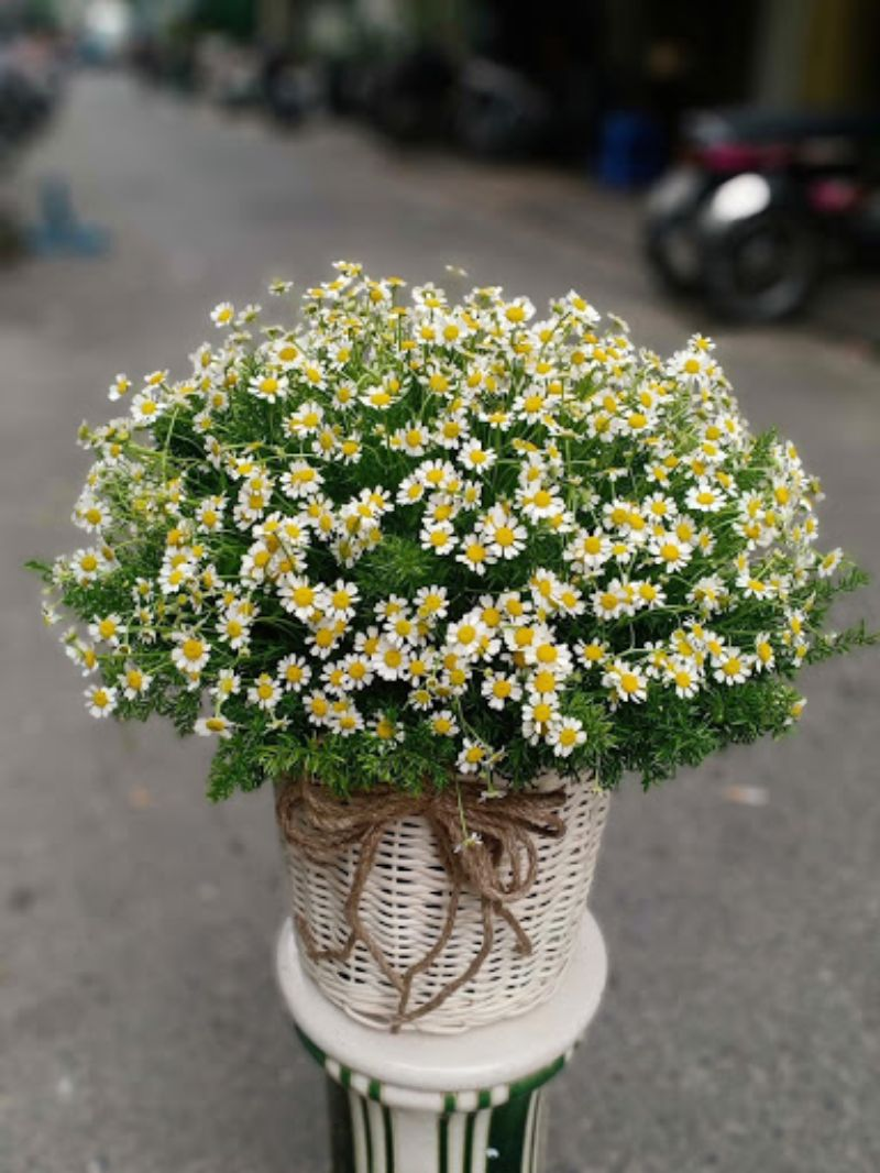 giỏ hoa cúc tana