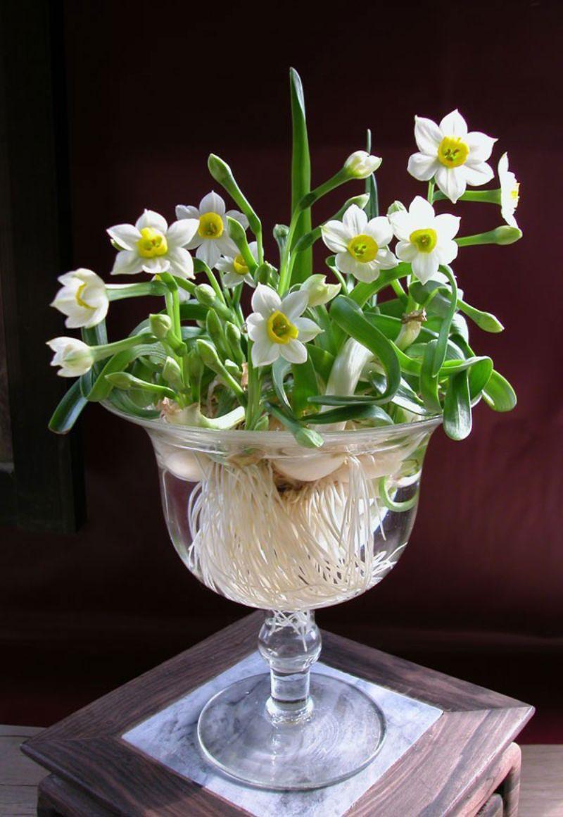 hoa thủy tiên Narcissus