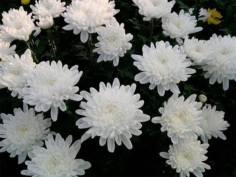 khóm hoa cúc trắng