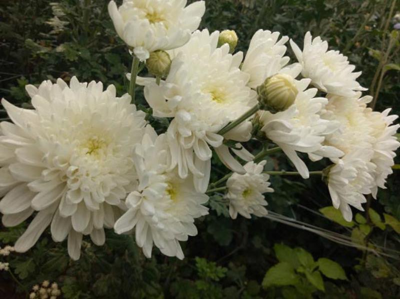 cành hoa cúc trắng