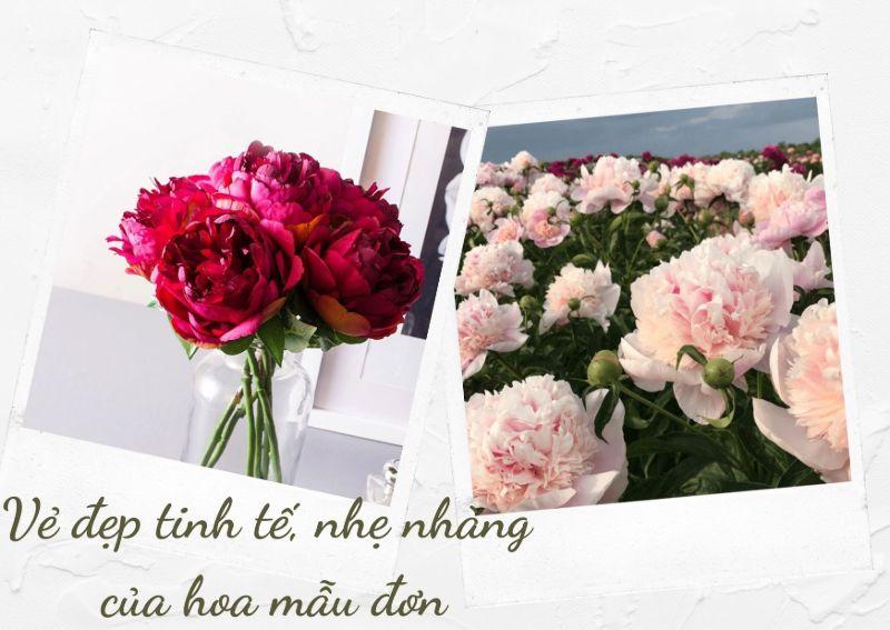 hoa mẫu đơn đỏ và hồng phấn