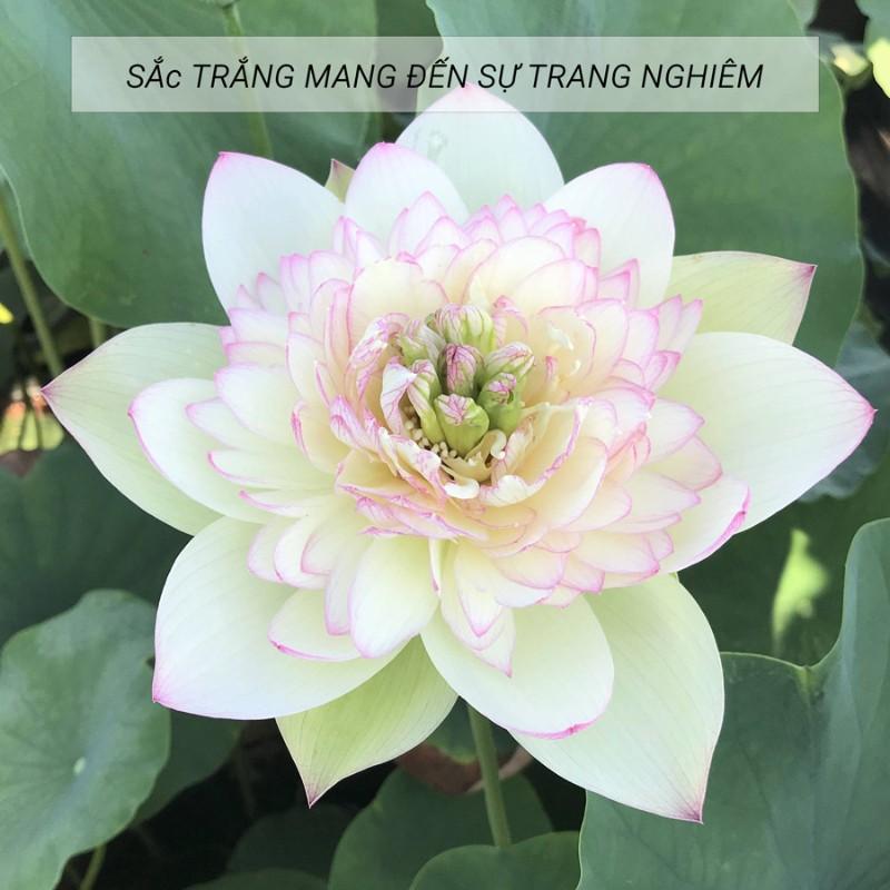 bông hoa sen trắng
