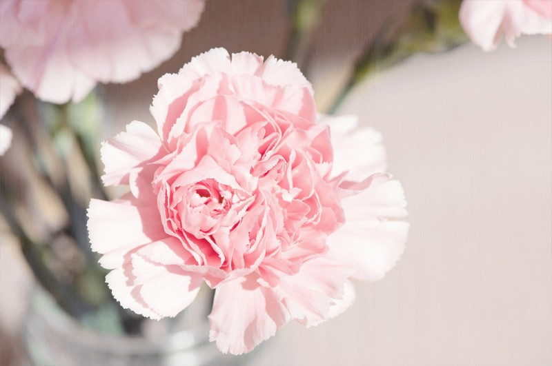 hoa cẩm chướng màu hồng sử dụng trong đám tang đạo Công giáo