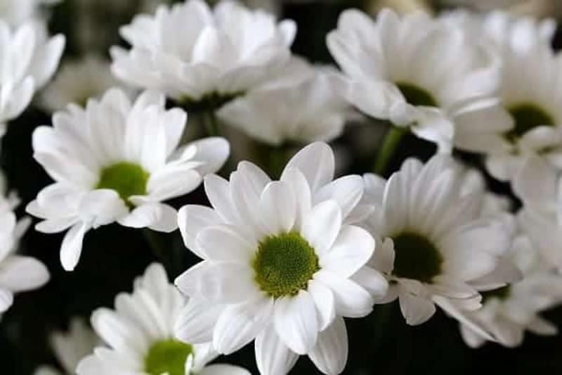 Hoa cúc trắng thường sử dụng trong đám tang