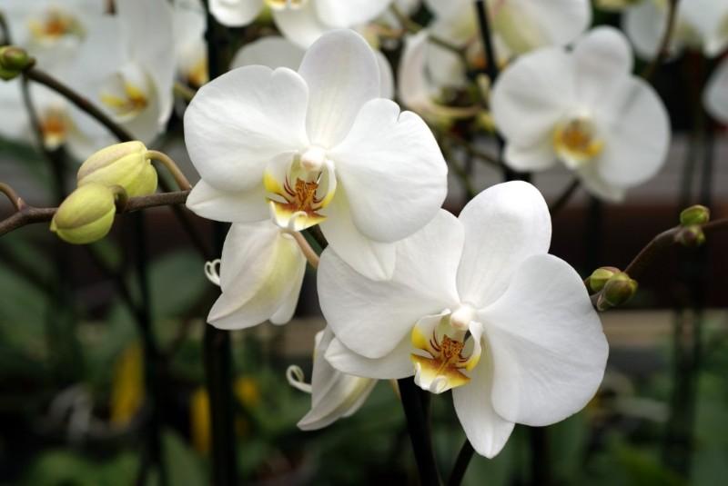 Hoa lan trắng thường được sử dụng trong đám tnag