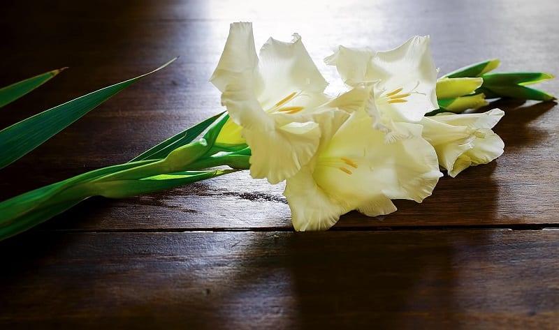 hoa lay ơn trắng
