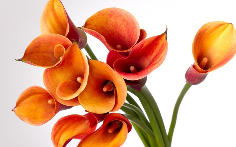 Những cánh hoa cưới màu cam hoa Calla Lily