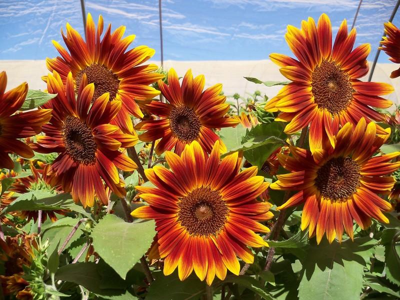 Vườn hoa hướng dương becka. Có mấy loại hoa hướng dương