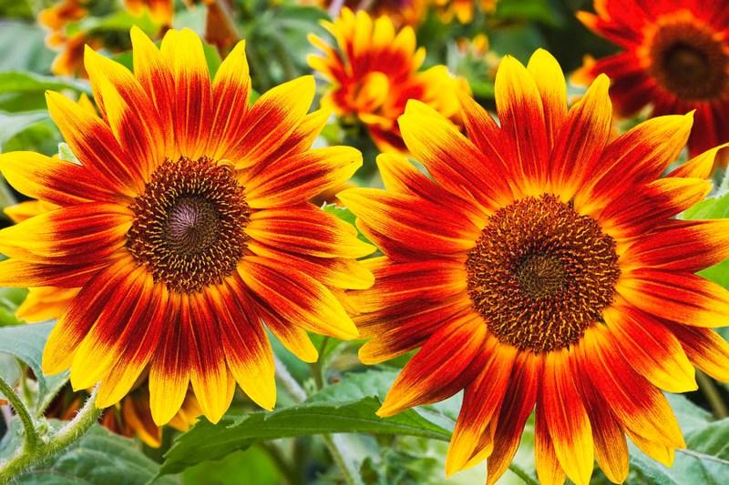 Hoa hướng dương becka nhỏ. Có mấy loại hoa hướng dương