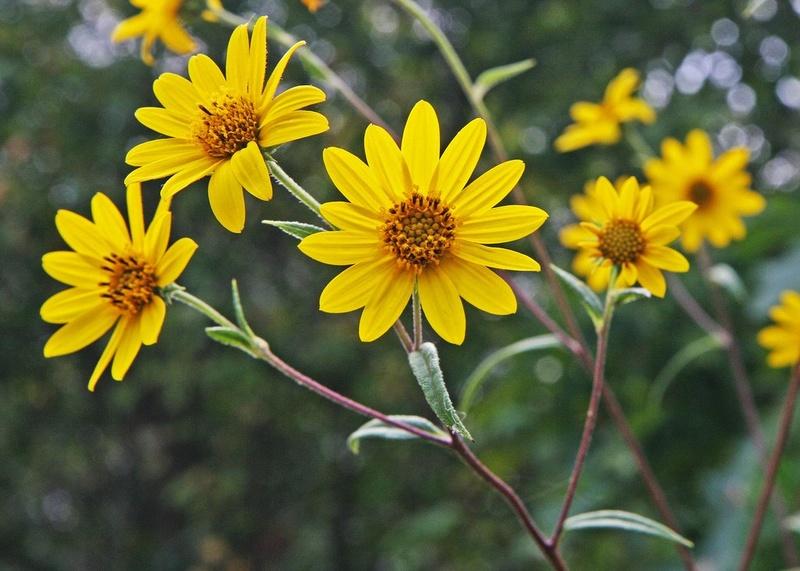 Hoa hướng dương Schweinitz. Có mấy loại hoa hướng dương