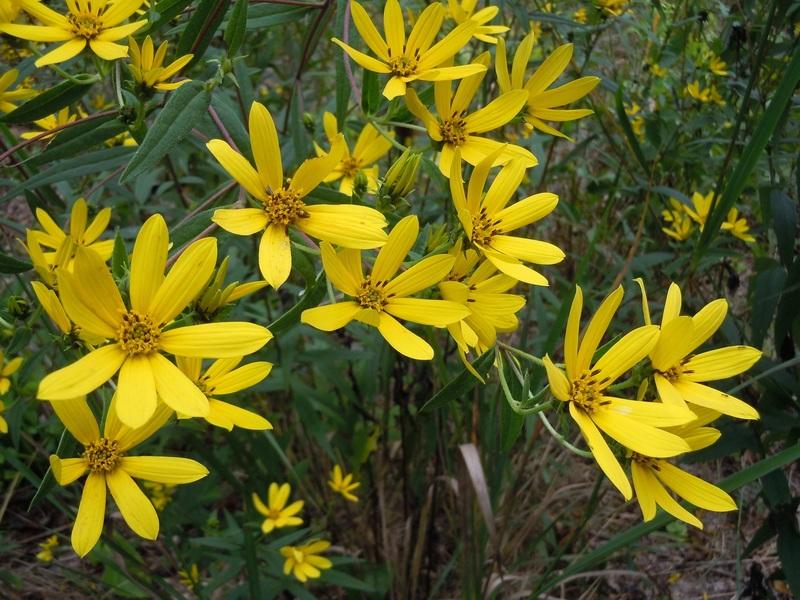 Hoa hướng dương Schweinitz nhỏ nhắn. Có mấy loại hoa hướng dương