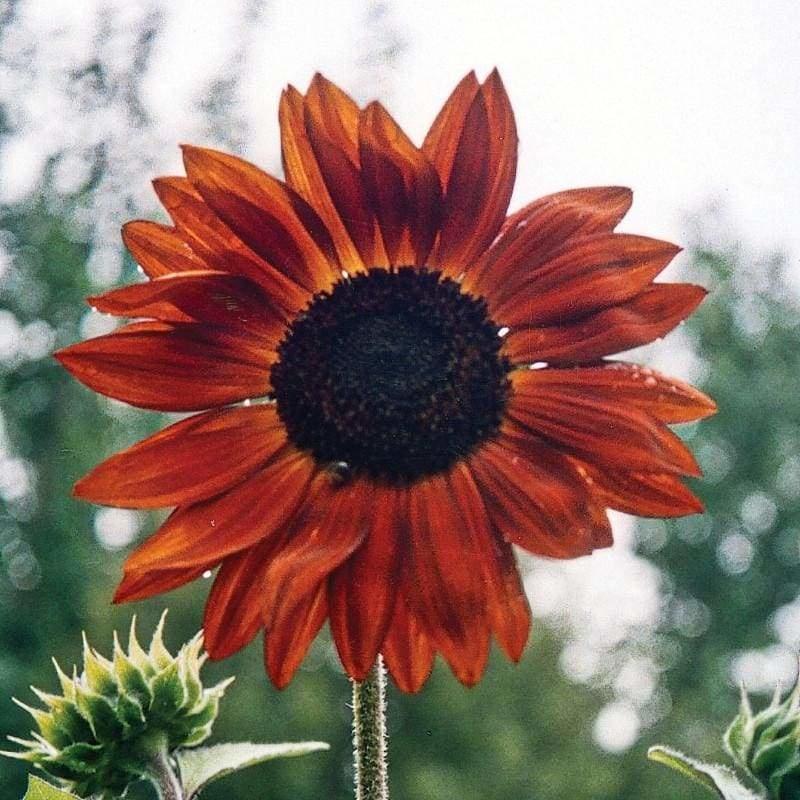 Hoa hướng dương màu đỏ xen lẫn ánh cam. Có mấy loại hoa hướng dương