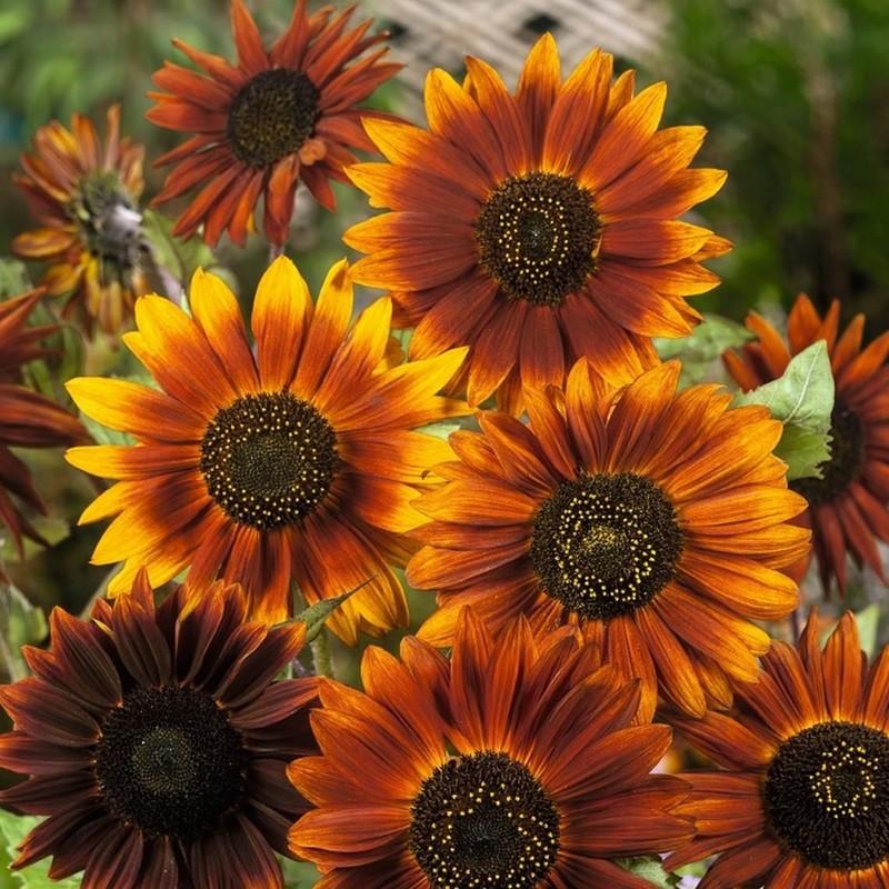 Hoa hướng dương cam đỏ Earthwalker. Có mấy loại hoa hướng dương