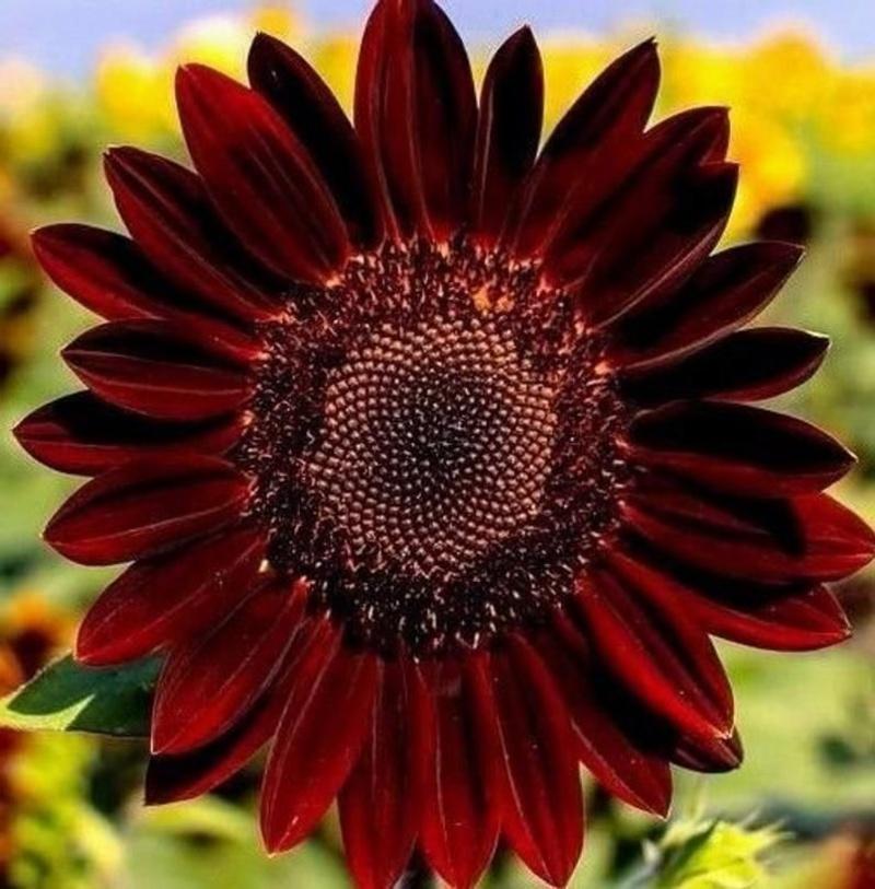 Hoa hướng dương đỏ. Có mấy loại hoa hướng dương