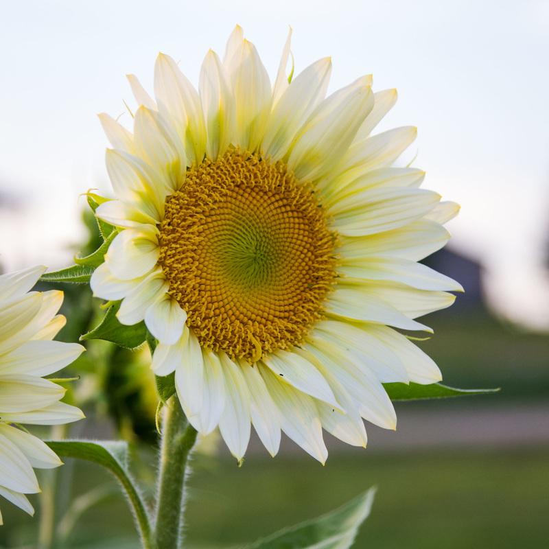 Hoa hướng dương trắng sang trọng. Có mấy loại hoa hướng dương