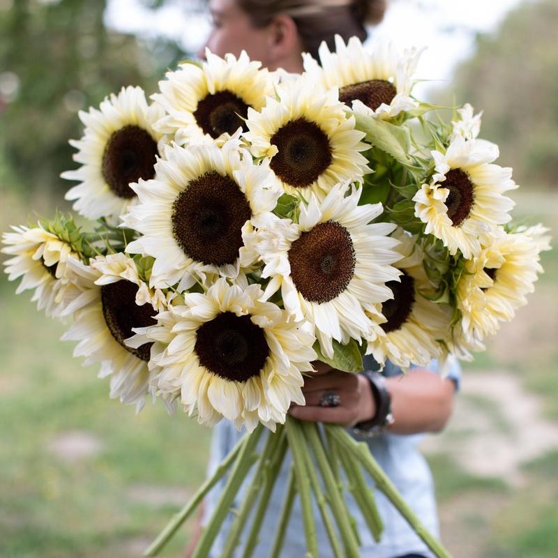 Bó hoa hướng dương trắng đẹp thuần khiết. Có mấy loại hoa hướng dương