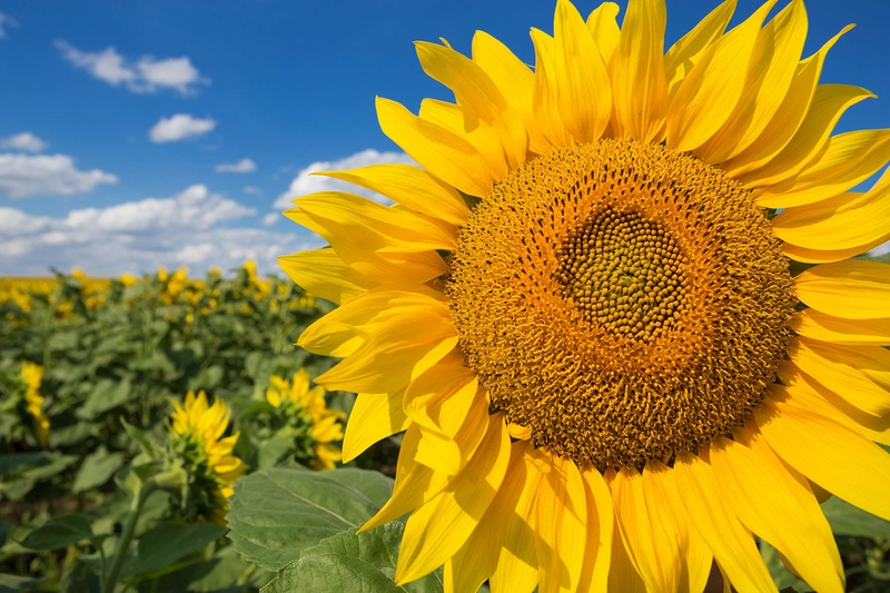 Hoa hướng dương vàng khổng lồ