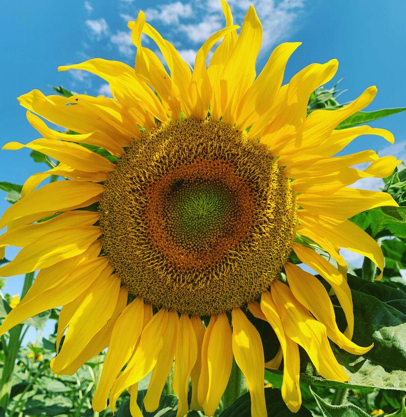 Hoa hướng dương ma mút vàng khổng lồ. Có mấy loại hoa hướng dương