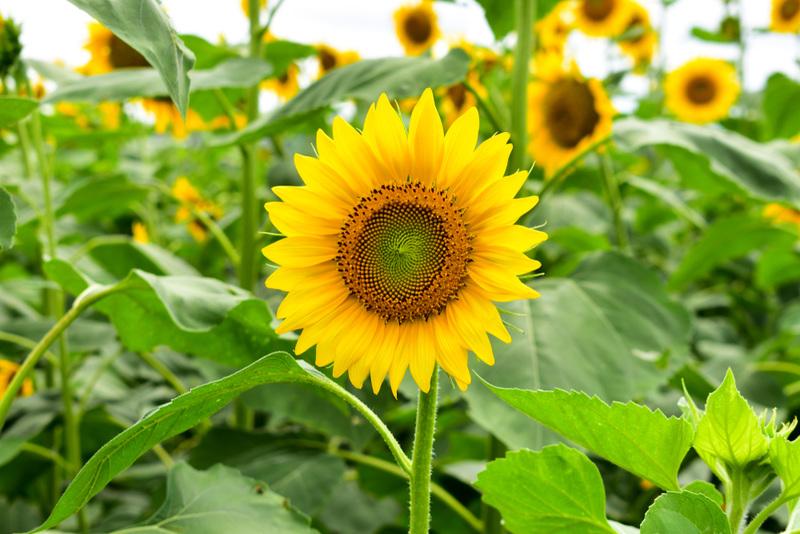 Hoa hướng dương vàng rực rỡ. Có mấy loại hoa hướng dương