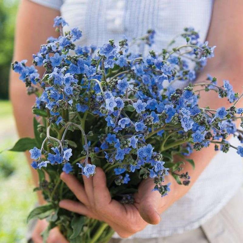 Hoa lưu ly xanh biếc
