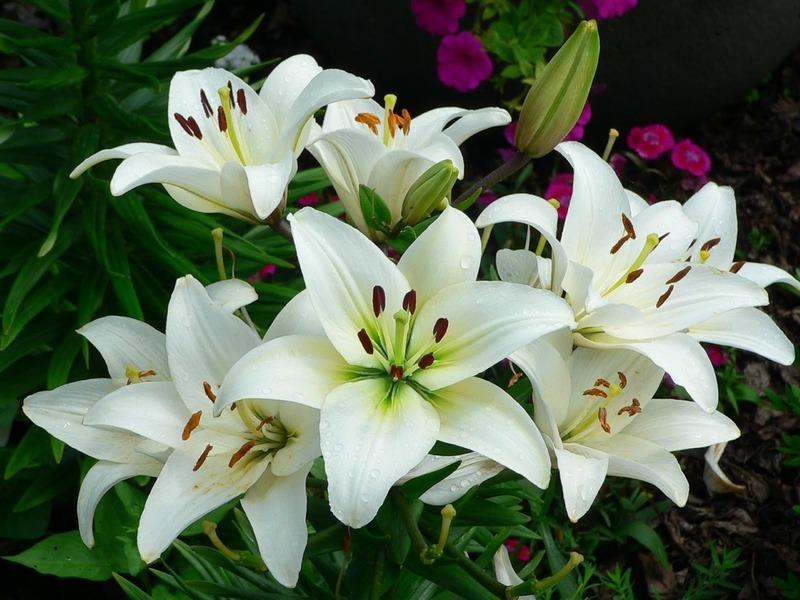 hoa chúc mừng lily trắng sang trọng