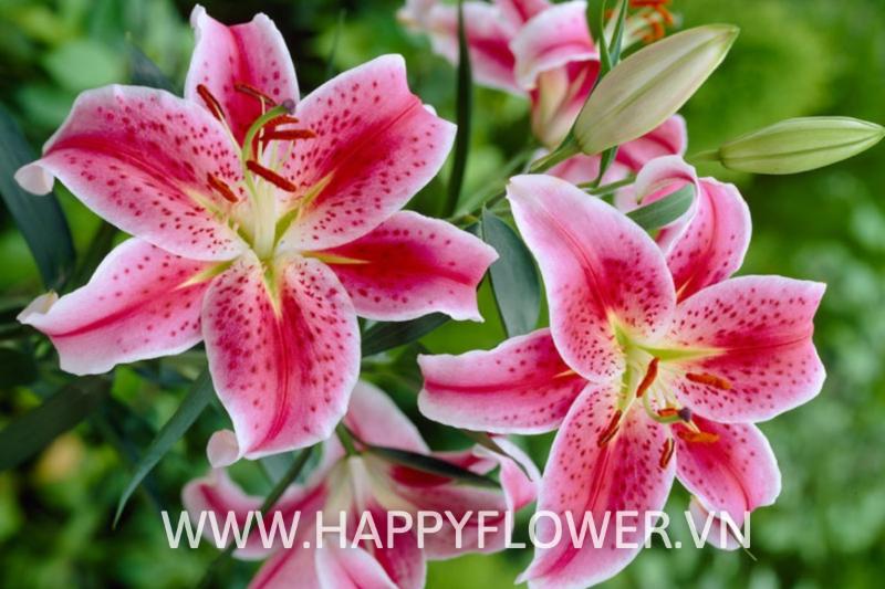 những bông hoa ly màu trắng hồng
