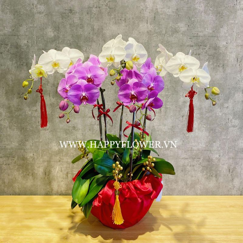 Chậu hoa lan hồ điệp màu sắc tím và trắng