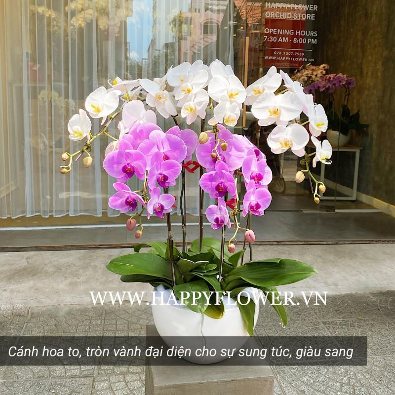 Chậu hoa lan hồ điệp phối trắng và tím