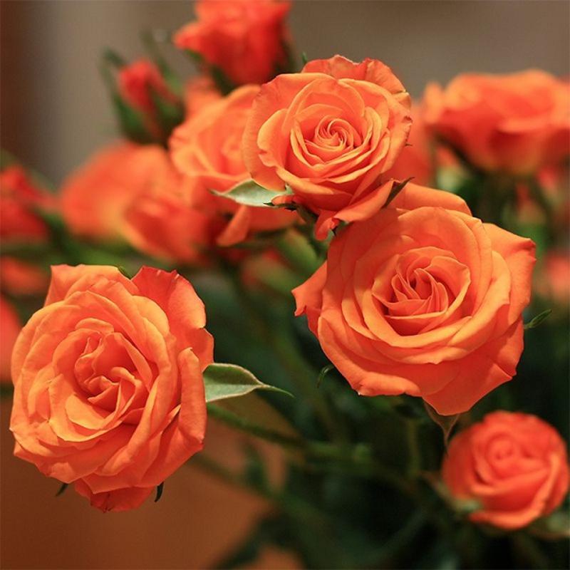 Hoa hồng tỉ muội tượng trưng cho tình cảm gia đình