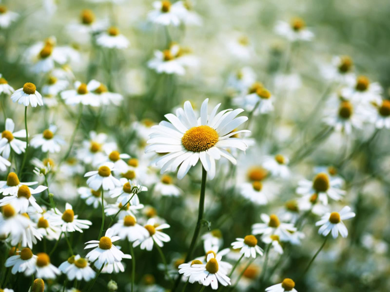 hoa cúc trắng chúc mừng sinh nhật người yêu