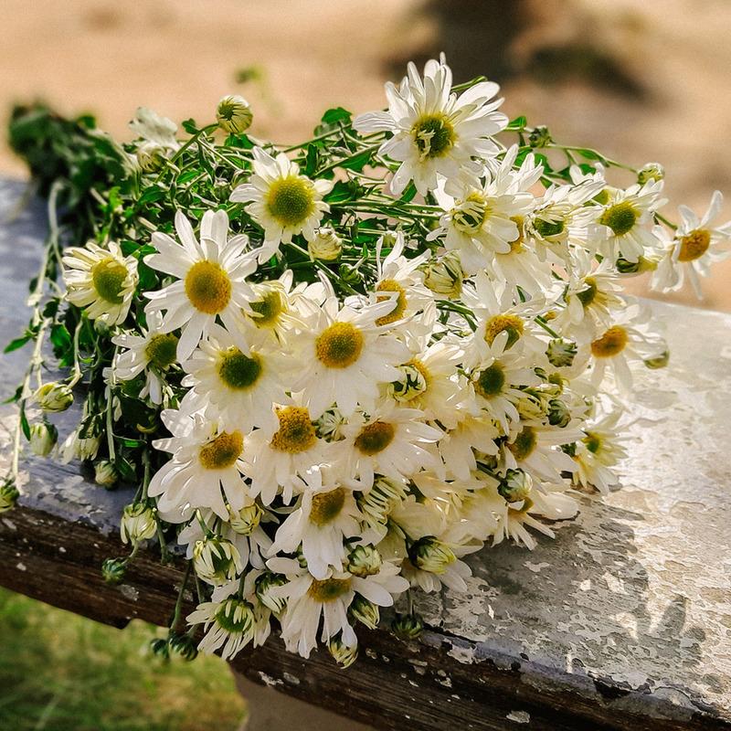 bó hoa cúc cầm tay trắng tinh khôi