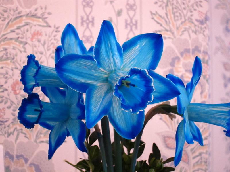 Bó hoa cưới cầm tay màu xanh dương từ hoa thủy tiên