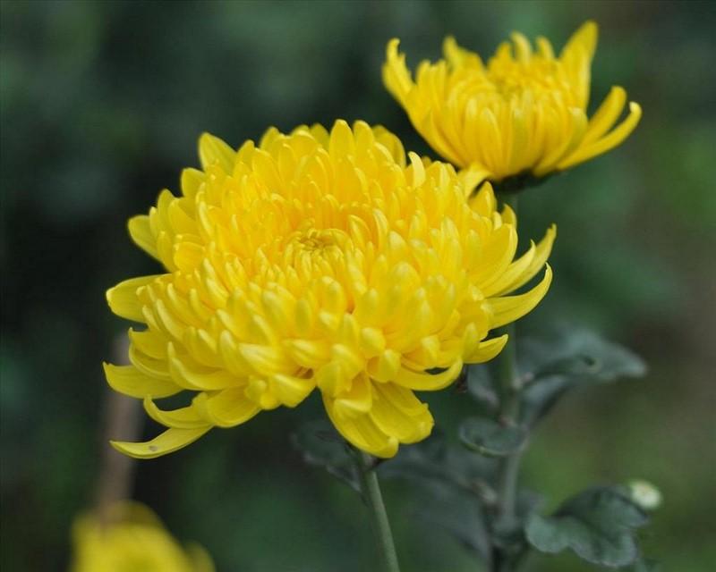 Hoa cúc màu vàng nở rộ