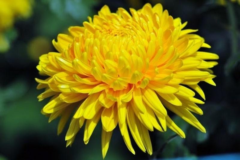 Hoa cúc vàng biểu trung cho sự kính trọng