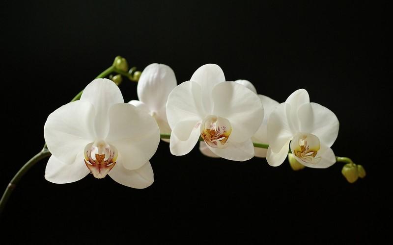 Nhành hoa lan trắng đẹp tinh khôi