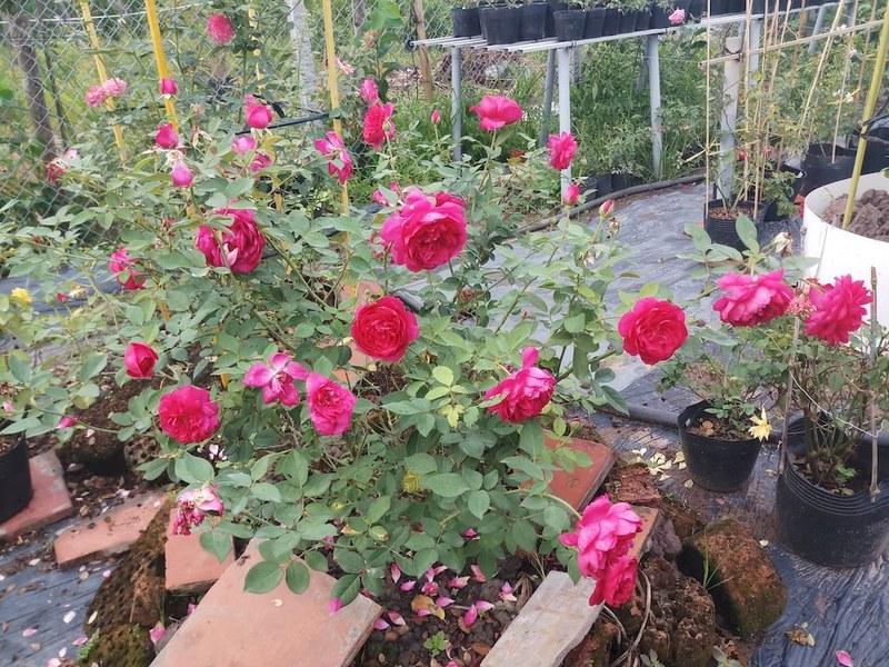 Vướn hoa hồng autumn rouge đỏ xinh xắn
