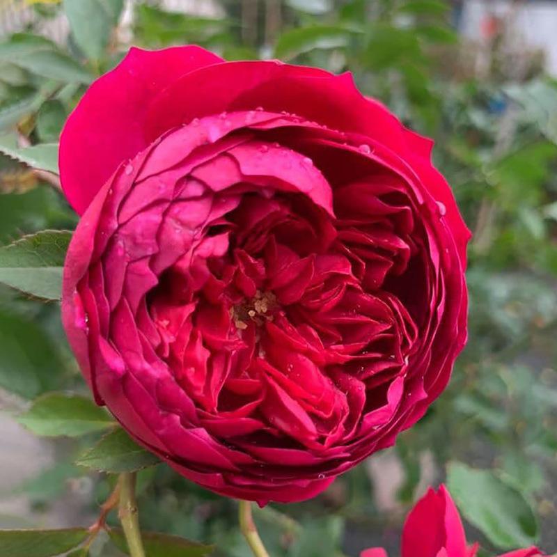 Hoa hồng autumn rouge đỏ tím