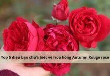 hoa hồng autumn rouge đỏ