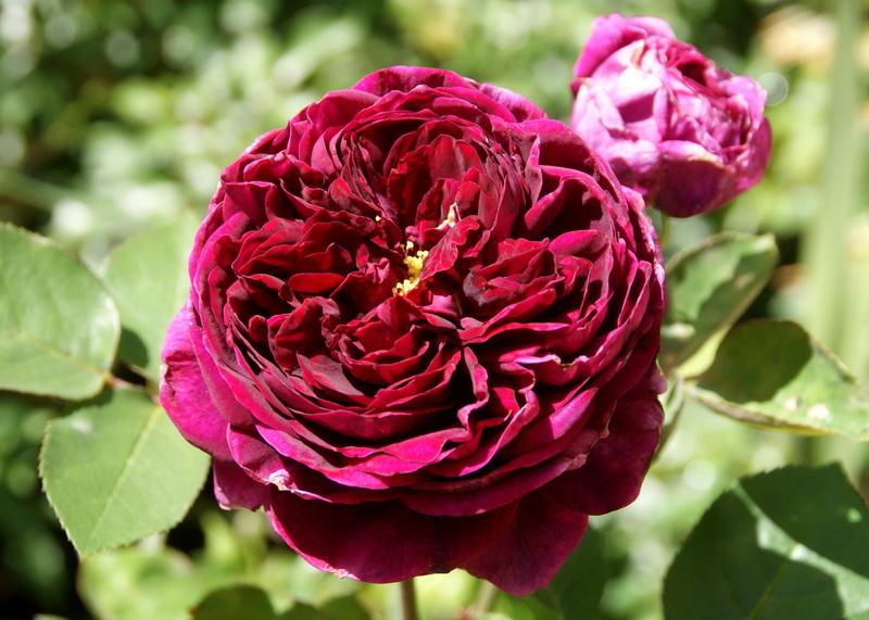 Cận cảnh hoa hồng autumn rouge đỏ tím