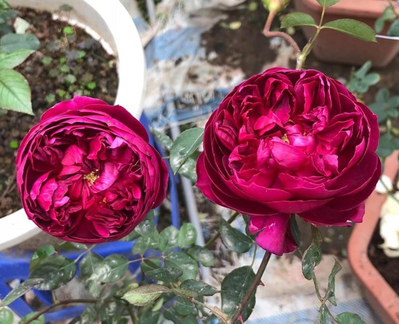 2 bông hoa hồng autumn rouge đỏ