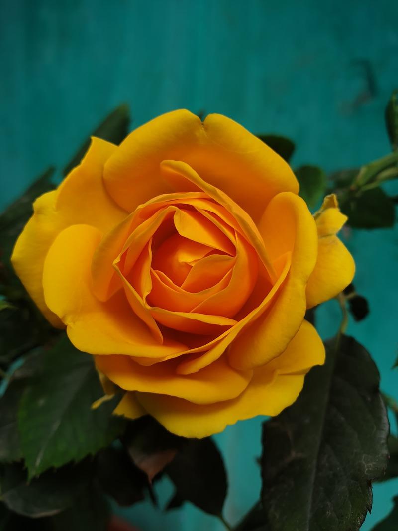 Cận cảnh vẻ quyến rủ của hoa hồng vàng