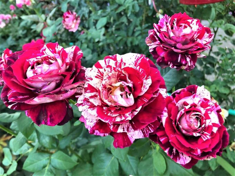 Hoa hồng ngoại Julio cánh 2 màu đỏ trắng