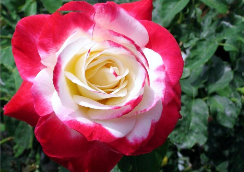 Hoa hồng ngoại Julio