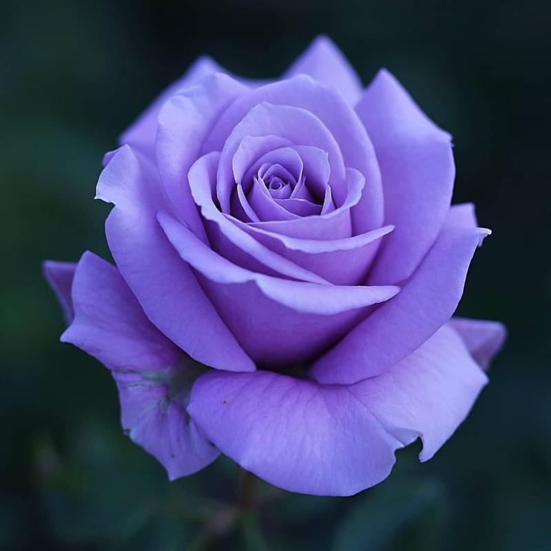 Hoa hồng tím tượng trưng cho sự thủy chung