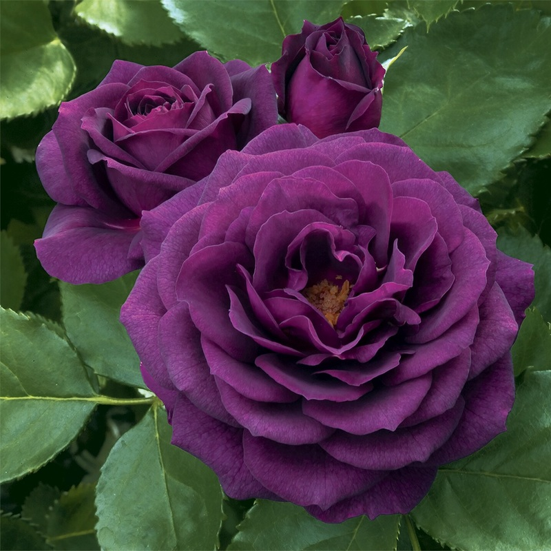 bông hoa hồng tím mộng mơ