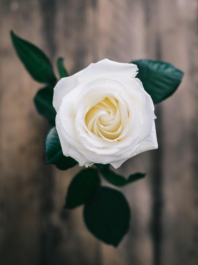 hoa hồng trắng tinh khiết