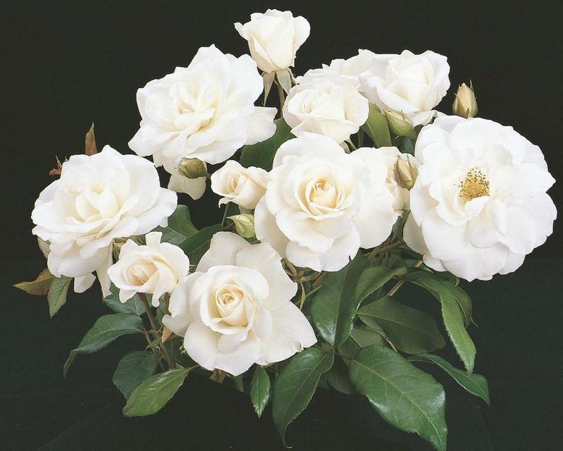 Những cành hoa hồng trắng tinh khôi