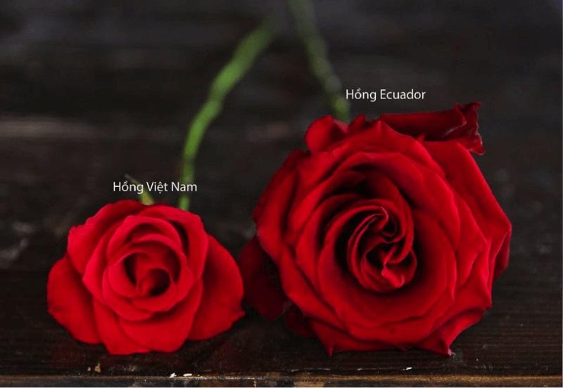 So sánh hoa hồng Việt Nam và hoa hồng Ecuador