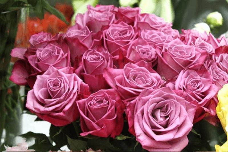 H hồng Ecuador tím