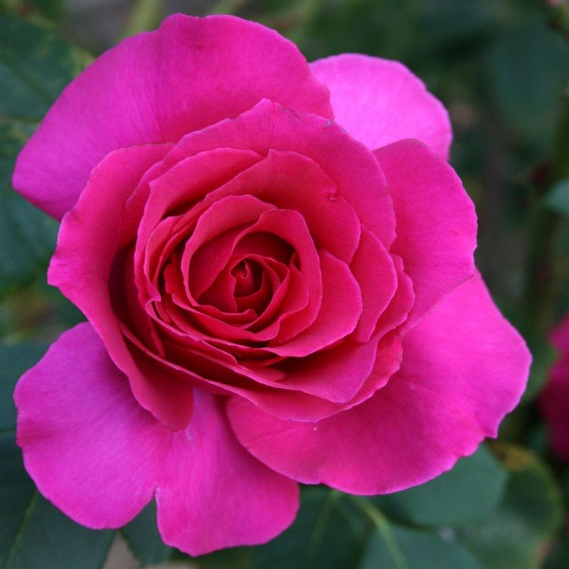 bông hoa hồng ngoại Rina Hugo rose màu hồng